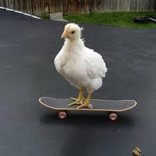 skateboardingchicken